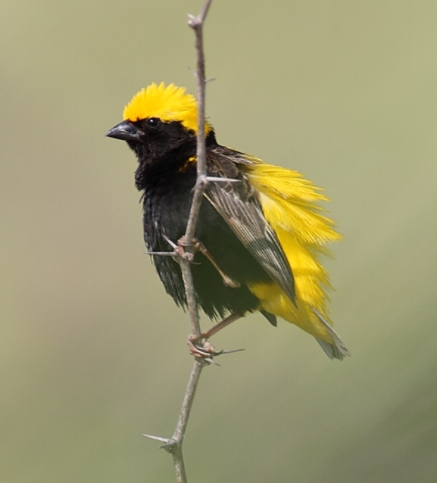 Bishop Yellow-Crowned