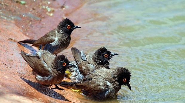 Bulbul, African Red-Eyed