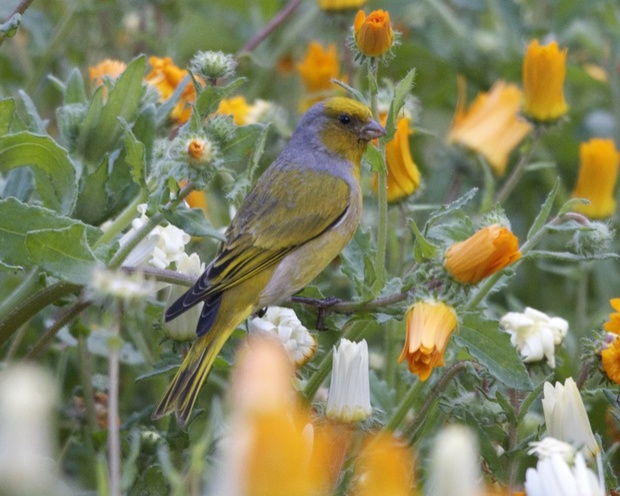 Canary Cape Bird Vaalnest Birding