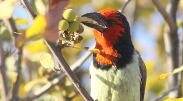 The Black Collared Barbet