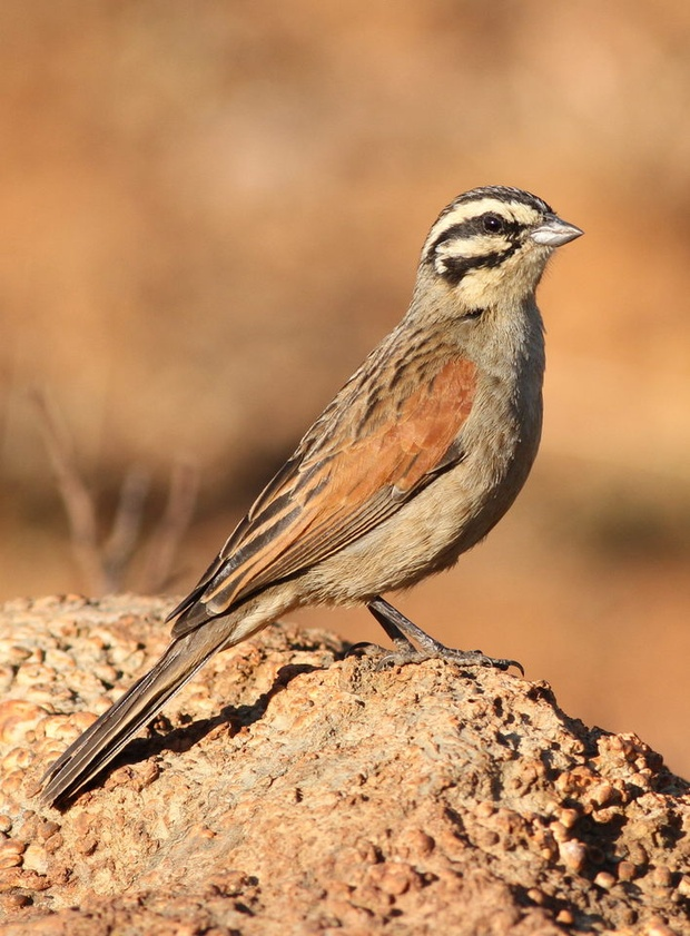 The Cape Bunting, Vaalnest Birding